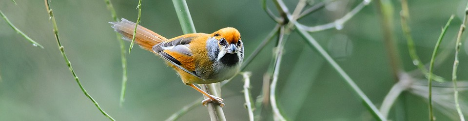 Natthaphat Chotjuckdikul – Birds of Thailand